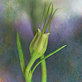 Dancing Bud - After by David and Carol Kelly
