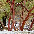 Dancing Manzanitas On The Hillside In Park Sierra-california by Ruth Hager