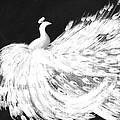 Dancing Peacock Black by Anita Lewis