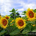 Dancing Sunflowers by Kathleen Struckle