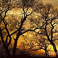 Dancing Trees Golden Sunset by James BO Insogna