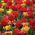 Dancing Tulips by Harold Rau