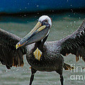 Dancing With A Pelican by Diana Black
