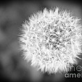 Dandelion 2 In Black And White by Emily Kay