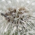 Dandelion Ant Trap by J McCombie
