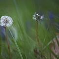 Dandelion by Belinda Greb