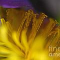 Dandelion Bloom Macro by Debbie Portwood