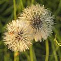 Dandelion Blooms by Nada Meeks
