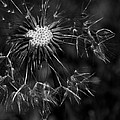 Dandelion Burst by Ernie Echols