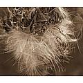 Dandelion Burst Sepia by Alice Gipson