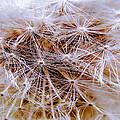 Dandelion Closeup by Sherman Perry