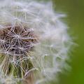 ...dandelion by Cory Huchkowski