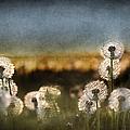 Dandelion Dusk by Cindy Singleton