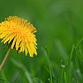 Dandelion Flower by Karen Adams