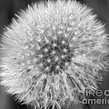 Dandelion Fluff In Black And White by Smilin Eyes  Treasures