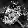 Dandelion Glow by Kaye Menner