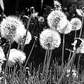 Dandelion Group by Tarey Potter