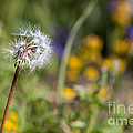 Dandelion In Meadow by Cindy Singleton