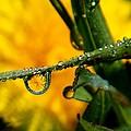 Dandelion in the Dew