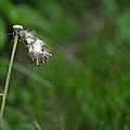Dandelion In The Wind by Lisa Phillips