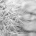 Dandelion by Jessie Gould
