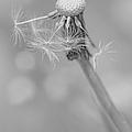 Dandelion Last To Fly Away Monochrome by Jennie Marie Schell