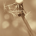 Dandelion Last To Fly Away Sepia by Jennie Marie Schell