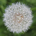 Dandelion Marco Abstract by Jennie Marie Schell