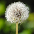 Dandelion by Mary Maule