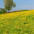 Dandelion Meadow And Alone Tree  by Jaroslav Frank
