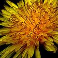 Dandelion by Michael Eingle