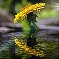 Dandelion Reflection by Sherman Perry