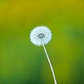 Dandelion by Sebastian Musial