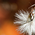 Dandelion Seed Head And Fall Color Background by Optical Playground By MP Ray