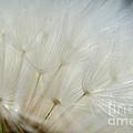 Dandelion Seed Head Macro II by Debbie Portwood