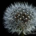 Dandelion Seed Head On Black by Sharon Talson
