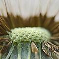Dandelion Seed Macro by Debbie Portwood