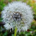 Dandelion Seed Puff by D Hackett
