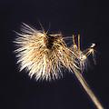 Dandelion Shaken By The Wind by Michela Villa