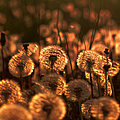 Dandelion Sparkles by Ericamaxine Price