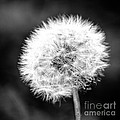 Dandelion Square Portrait In Black And White by Emily Kay