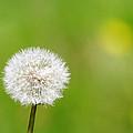 Dandelion by Steve Ball