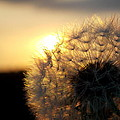Dandelion Sunset by Chris Cox