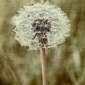 Dandelion Textures by Ann Garrett
