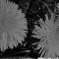 Dandelion Weeds? B/w by Martin Howard