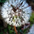 Dandelion Wish  by Nicki Bennett
