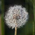Dandelion With Abstract Grasses by Richard Thomas
