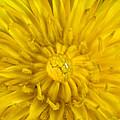 Dandelion With Waterdrop by Iris Richardson