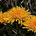 Dandelions In Group  By Leif Sohlman by Leif Sohlman