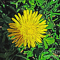 Dandy Lion by Luther Fine Art